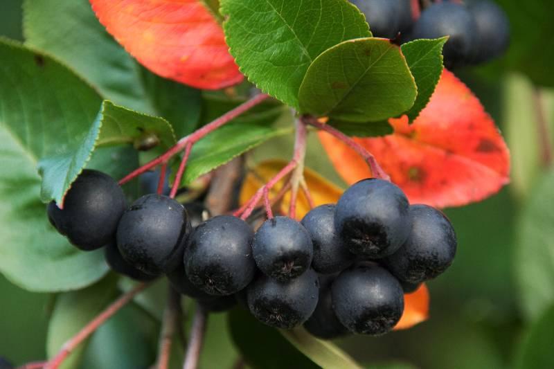 aronia x prunifolia viking chokeberry 3 litre. Black Bedroom Furniture Sets. Home Design Ideas